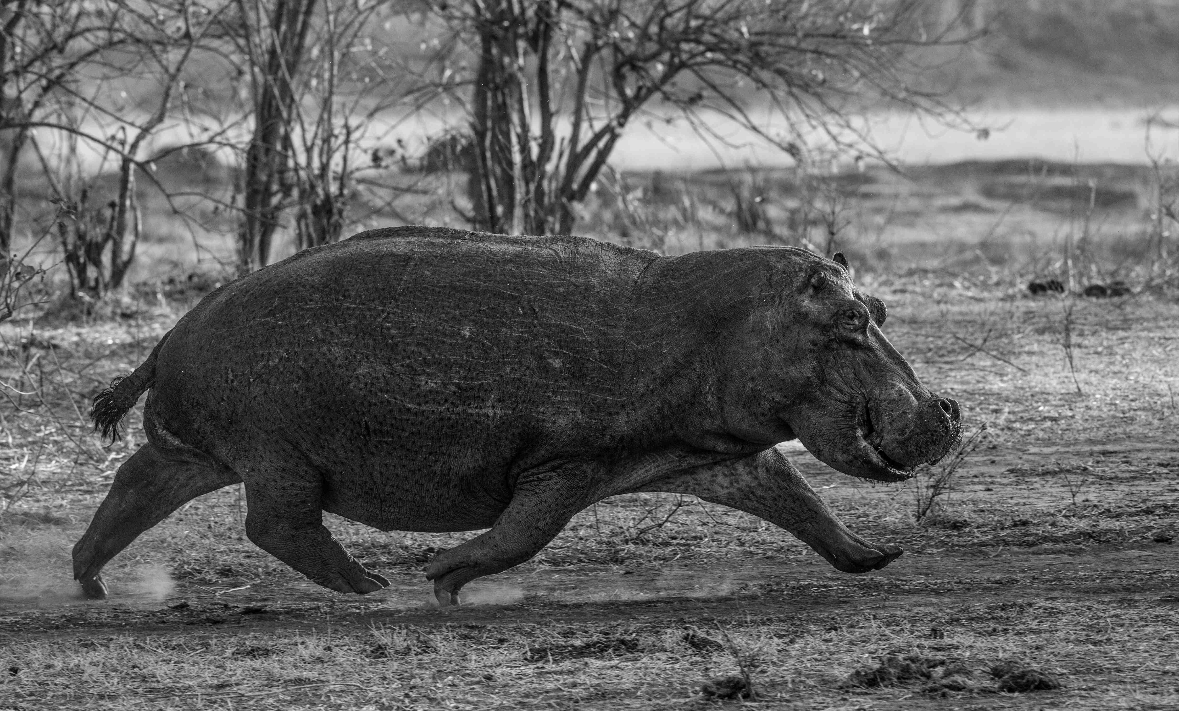David Yarrow Hippos in Zambia 2