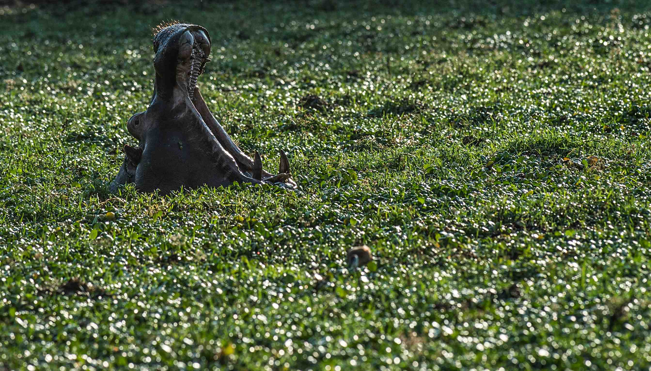 David Yarrow Hippos in Zambia