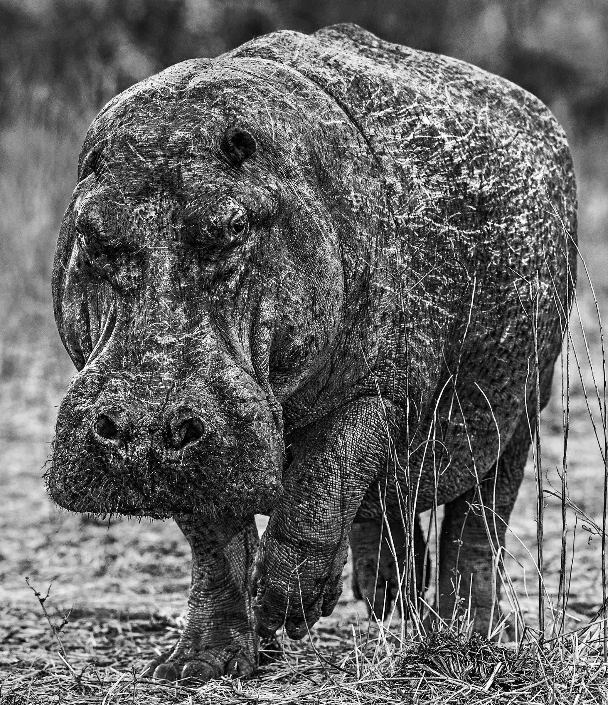 David Yarrow Hippos in Zambia 3