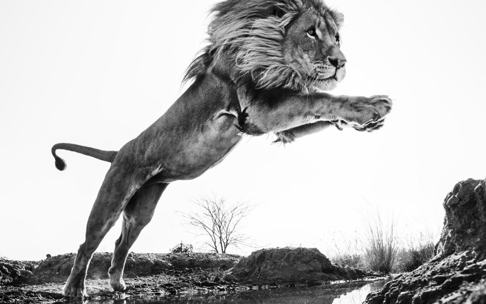 LION KING | DAVID YARROW