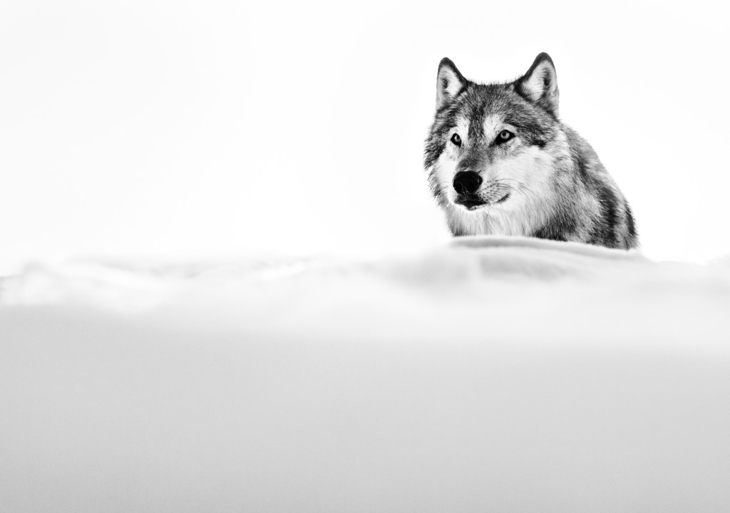 Focused wolf