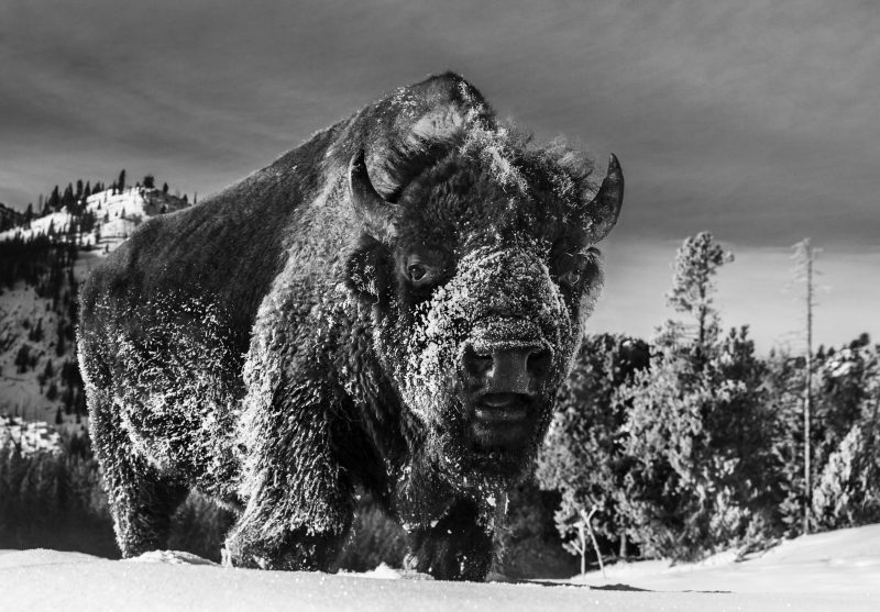 THE BEAST OF YELLOWSTONE