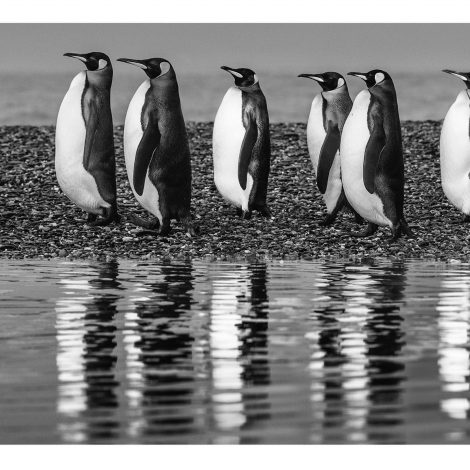 Ocean's Eleven  I saw this opportunity develop during evening rush hour on a narrow coastal path in St. Andrews Bay in 2018. Hundreds of king penguins in groups of 10 to 20 were making the journey, with the South Atlantic in the background and the trapped glacial lake in the foreground. On this day the wind was gentle, which allowed greater creativity in photographing the fishing commute.  If the march of the penguins is perpendicular to the camera, all the penguins should be in focus. But generally penguins do not march as orderly as Marines, and their line tends to be characterized by chaos rather than even spacing. If any penguin obscures part of another—and this happens most of the time—it creates a visual tension point and that tension doubles in a reflection. I want these types of images to be simple and easy on the eye, and I can't stand tension points.  If there are just a few penguins in a line, the task is easier, but the longer the line, the more arresting the image. As it turned out, there was just one image in which it all came together. The second - and third-last penguins were almost together, and the beak of the second-last could have been obscured, which would have disrupted the image. But, by a fraction, all was OK. When I returned to the boat and counted all the penguins, there were 11, which made the naming of the image a straightforward and immediate job.