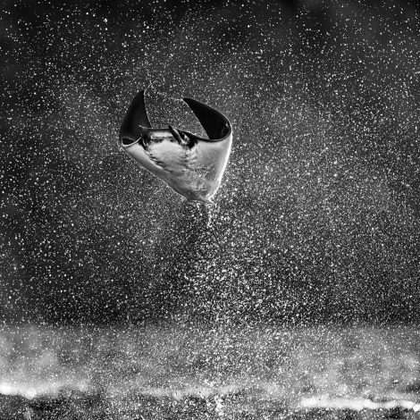 """Mars Attacks!  Every year in the early summer, thousands of mobula rays congregate in the Sea of Cortez off the coast of La Paz in Mexico. On calm days at sea, a spectacular courting ritual unfolds during which the rays show off by jumping several metres out of the sea. It is one of the most surreal sights to witness anywhere in the world. In the ocean, mobula rays look as one would expect, but when flying through the air, they look like aliens or spaceships. They are quite literally a fish out of water. I have no preconception as to what a """"Mars Attack"""" might look like, but this is hopefully the closest I will get to it.  There are a few dilemmas on this location for the filmmaker. Firstly, the action often takes place 90 minutes from port and the light and the activity are at their best in the hour before sunset. We also discovered that the wind picks up after the sun sets. Secondly, I wanted to be as low as possible and this ruled out hiring larger more comfortable boats.  There was no way we would sacrifice content, so we had no choice but to spend a few dark evenings returning home in quite rough seas in a small fishing boat. But that was still the right trade. There are no shortcuts in this gig.  I took a great deal of frames over the week, but it is such a low percentage assignment that just three or four did justice to the spectacle. It requires quick reactions and - as always - good fortune. Much depends on the alertness and manoeuvering skills of the captain of the boat. I was fortunate to work in La Paz with my fellow Londoner - Luke Inman - who now lives in the city and knows the sea and sealife there as well as anyone @cortezexpeditions @luke_inman_photography. He hired the boat captain - Tony Ruelas - and this picture is as much his as it is mine.  What a planet we live on."""