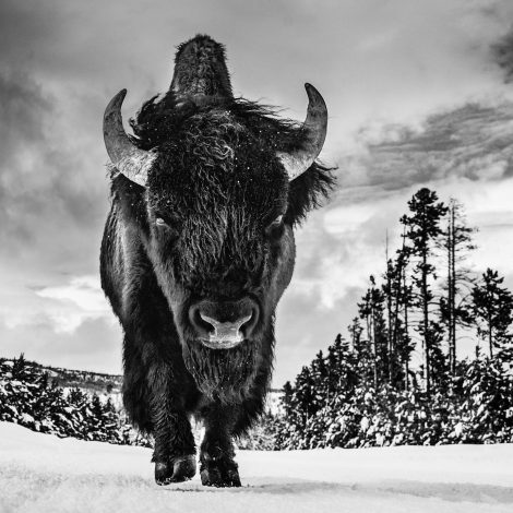 American Idol  Happy Independence Day to all our friends in America!  This powerful image of a large bull bison was captured near Old Faithful in Yellowstone National Park. The bison is an emblematic North American animal that roamed the continent millions of years before man. When fully grown, it is a massive beast that deserves our respect and recognition.  When I was researching bison, I quickly understood two things: first, that some rogue bulls carry a serious threat if their space is invaded, and second, that the adult face is both prehistoric and enormous. The bison is all about the face, and I sensed that any picture that didn't recognize this would miss its goal. My instincts were that the image also needed to convey a sense of Yellowstone in the winter and this, combined with the need for proximity, all pointed to a ground-level, remote-control approach.  To work with remotes and a prime wide angle is very much my signature style, but it is easier with elephants in Amboseli than bison in Yellowstone. This is not an easy location—our guide suggested that 95 percent of Yellowstone is out of bounds in winter. I failed about 10 times with my camera positioning, and I tweaked my lens and camera combination constantly. But on the third day at about 2:00 p.m., it all came together. The trees and the sky are helpful additions, but what a face and back structure. I haven't seen this sort of image of a big bison before.  I would like to thank Tom Murphy, one of America's most acclaimed nature photographers, for assisting me on this assignment. We were both frustrated by the milder weather at the start of the week, but his knowledge and fireside tales of the area kept my spirits up.