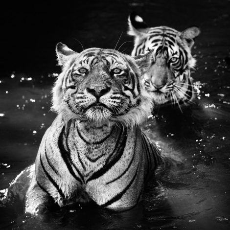 The Jungle Book Stories for #GlobalTigerDay  There were only about 1,700 Royal Bengal Tigers left in India at the time this photograph was taken in 2013 – a frightening decline from the estimated 100,000 during the Raj. Therefore, to find a father and son bathing in the same pool in the jungle was statistically unlikely.   The positioning of the animals relative to the surroundings or each other is a matter of luck. Over time, luck will average out, but the placement of the adult tiger's left ear covering his son's right eye enhances a picture which evokes jungle book stories.   I like the lone eye to the right – even though it's outside my focal plane, it ironically grabs our focused eyes.